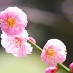 羽根木公園の梅の見頃時期と梅まつり・開花情報