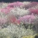いなべ市梅林公園の梅の見頃時期と梅まつり・開花情報