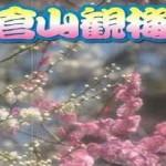 大倉山公園梅林の梅の見頃時期と梅まつり・開花情報