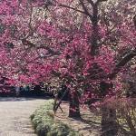 偕楽園の梅の見頃時期と梅まつり・開花情報