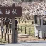 越生梅林の梅の見頃時期と梅まつり・開花情報