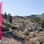 賀名生梅林の梅の見頃時期と梅まつり・開花情報