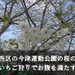 福岡市西区の今津運動公園の桜の見頃!いちご狩りでお腹を満たす